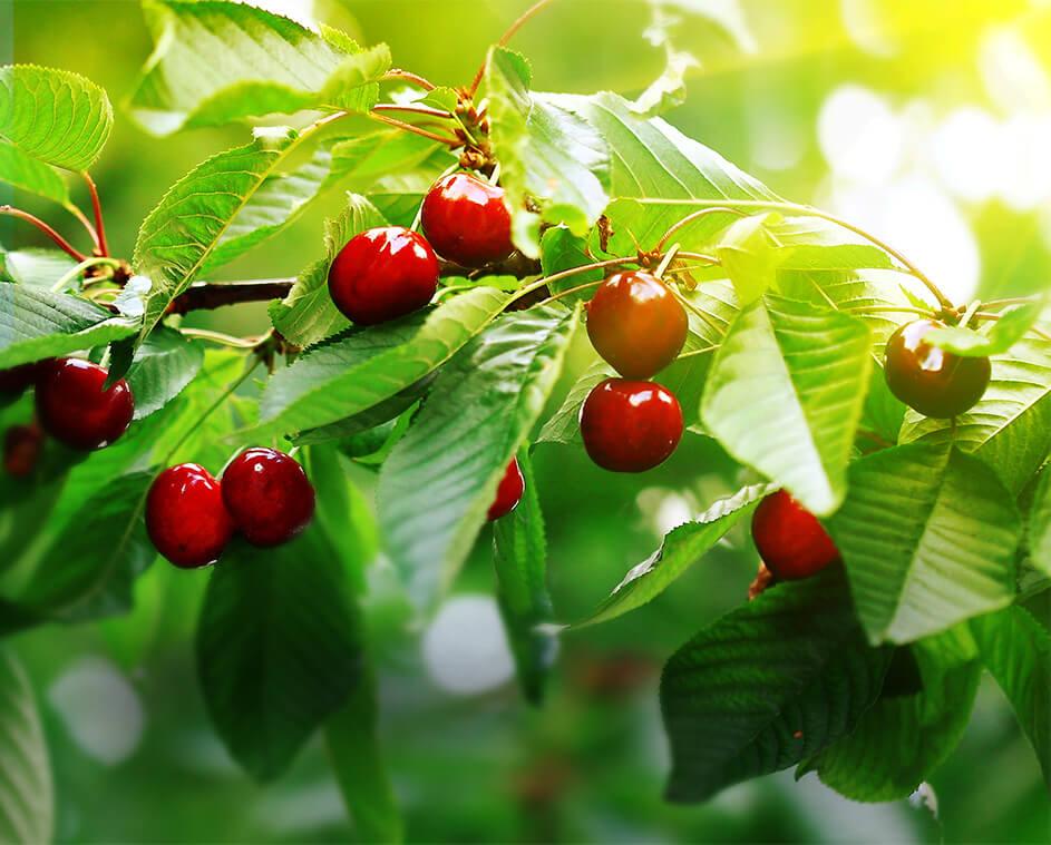 Sonnengereiftes Obst